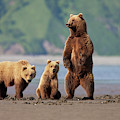 A Brown Bear Mother And Cubs Walks by Hugh Rose