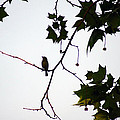 A Brown Thrasher Sings In Sycamore Tree by Kim Pate
