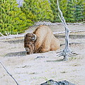 A Buffalo Sits In Yellowstone by Michele Myers