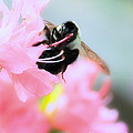 Bumble Bee And Azalea by David Perry Lawrence