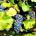 A Bunch Of Grapes by Kay Gilley