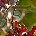 A Bushtit Bird by Brian Williamson