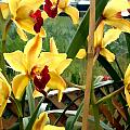A Cage Of Canary Cymbidiums by Elaine Plesser