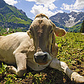 A Calf In The Mountains by Chevy Fleet
