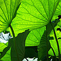 A Canopy Of Lotus Leaves by Larry Knipfing