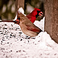A Cardinal Couple by Sarah  Cafaro