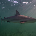 A Carribbean Reef Shark Swims by Andy Mann