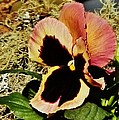 A Charming Pansy by VLee Watson