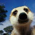 A Close View Of A Meerkats Face by Mattias Klum