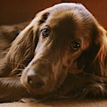 A Close View Of An Irish Setter by Brian Gordon Green