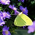 A Clouded Sulphur On Lavender Mums by Maria Urso