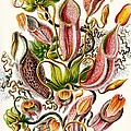 A Collection Of Nepenthaceae by Ernst Haeckel