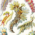 A Collection Of Nudibranchia by Ernst Haeckel