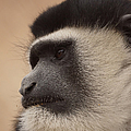 A Colobus Monkey by Ernie Echols