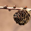 A Conifer Cone On A Tree Branch by John Short
