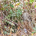 A Coopers Hawk Hidding by Brian Williamson