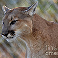 A Cougar In Deep Thought by Eva Thomas