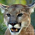A Cougars Face by Eva Thomas