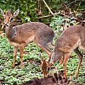 A Couple Of Dik-dik Antelopes In Tanzania. Africa by Michal Bednarek