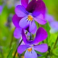 A Couple Of Pansies by Rick  Monyahan
