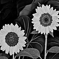 A Couple Of Sunflowers. by Digital Photographic Arts