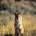 A Coyote Canis Latrans Stares by Jeff Diener