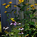 A Cute Couple Of Yellow Finches by Christine Dekkers