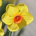 A Daffodil Hello by Maria Urso