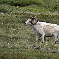 A Dall Ram's Curl by Wes and Dotty Weber
