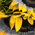 A Different Kind Of Sunflower by Rene Triay Photography