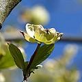 A Dogwood Blossom by Maria Urso