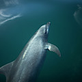 A Dolphin Swims In The Bay by Chico Sanchez
