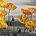 A Dozen Or More Golden Poppies by Byron Varvarigos