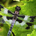 A Dragonfly Warms Up In A Vegetable by Robert L. Potts
