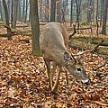 A Eight Point Buck 1261 by Michael Peychich