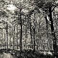 A English Forest by David Pyatt