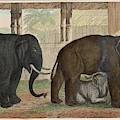 A Family Of Indian Elephants by Mary Evans Picture Library