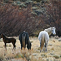 A Family Of Three - Wild Horses - Green Mountain - Wyoming by Diane Mintle
