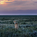A Female Cheetah, Acinonyx Jubatus by Chris Schmid