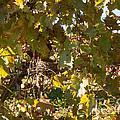 A Few Grapes Left For The Birds by Carol Lynn Coronios