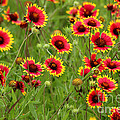 a field of Indian Blankets by TN Fairey