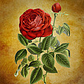 A Fifth Vintage Rose by Sheila Savage