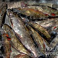 A Fine Catch Of Trout - Steel Engraving by Barbara Griffin