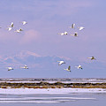 A Flock Of Swans Flies Over Water by David Stubbs