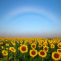 A Fog Bow Over The Colorado Sunflower Fields by Ronda Kimbrow
