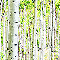A Forest Of Aspen Trees In The Fall by Jordan Siemens