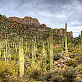 A Forest Of Saguaros  by Saija  Lehtonen