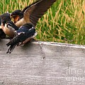 A Fourth Baby Barn Swallow Wants In On Lunch by J McCombie
