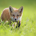A Fox In The Grass  Montreal, Quebec by Vladislav Kamenski