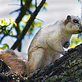 A Fox Squirrel Pauses by Betsy Knapp